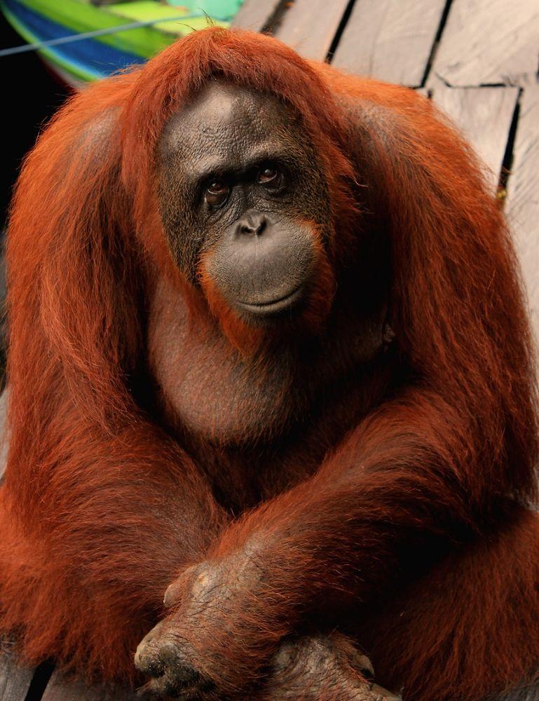 Orangutan ( great Apes ) by yofiekamale