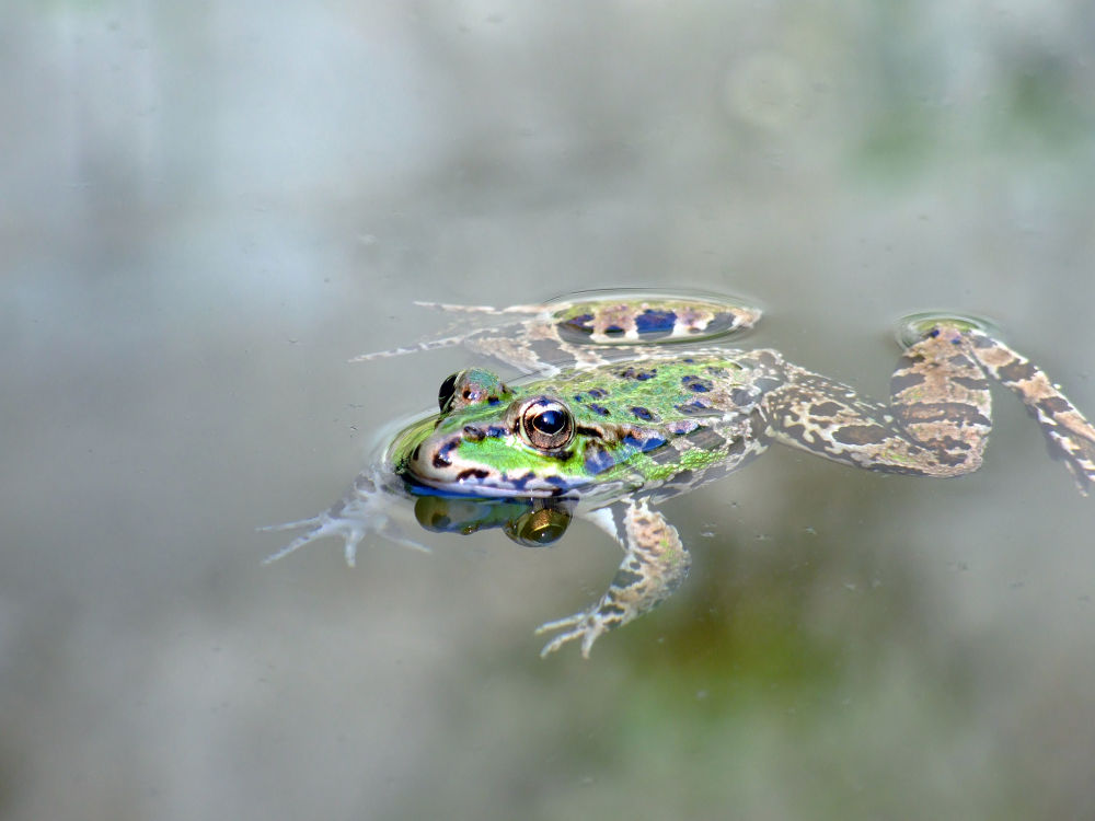 Amphibian by PedroCapao