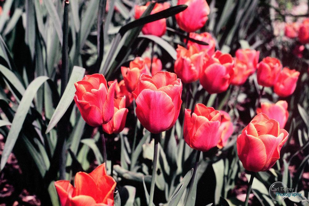 Tulips 35mm Fuji Velvia 50iso Film by MagicKipper