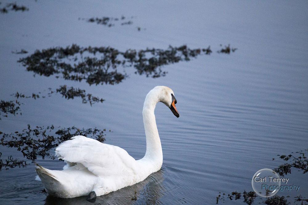 Swan by MagicKipper