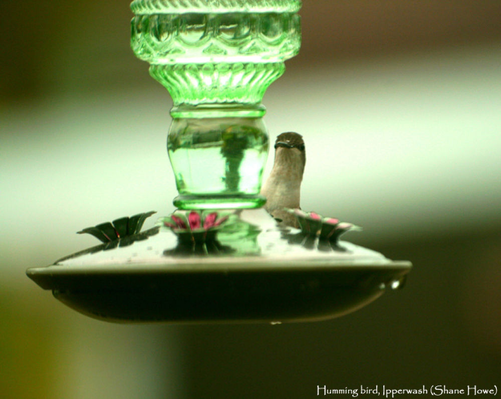 humming bird.jpg by Shanehowe
