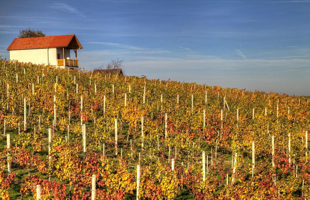 Austrian Wine Yard by TJPhotography