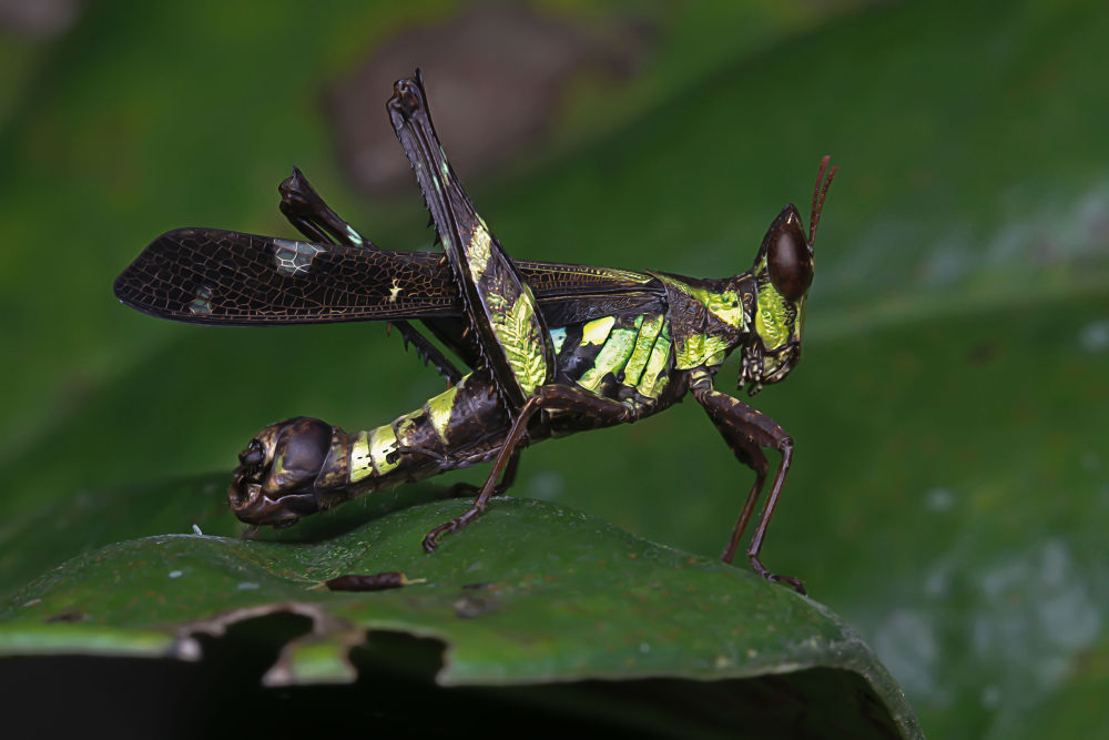 monkey grasshopper by Zul Musa