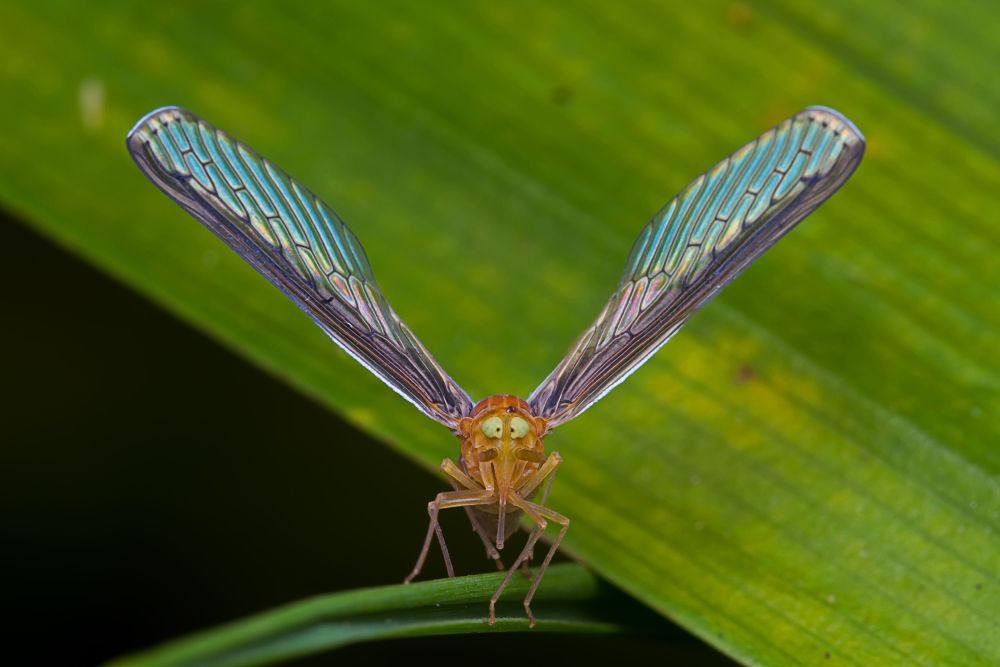 Derbid planthopper by Zul Musa