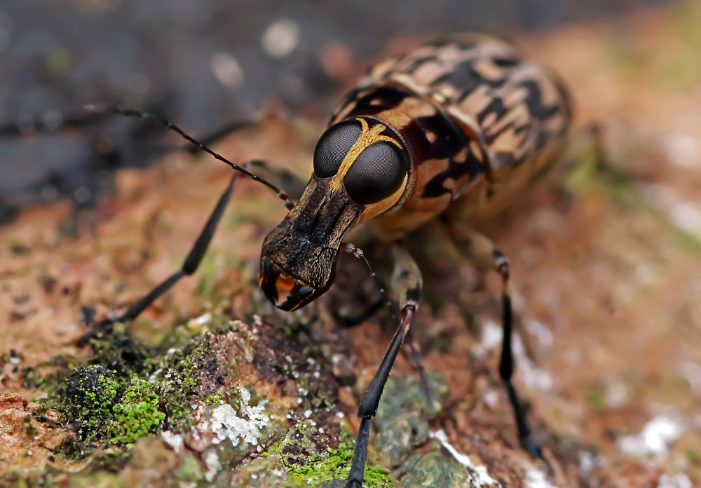 fungus weevil by Zul Musa