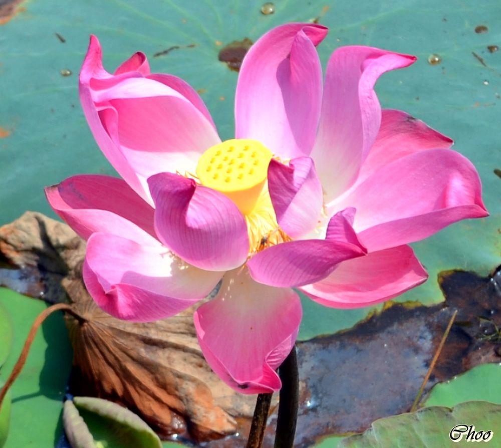 My Favorite Pinky Lotus by chooqlin