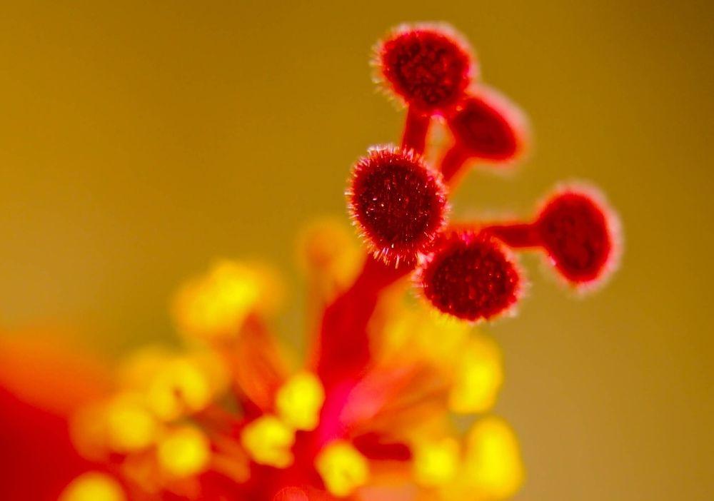 hibiscus by Sinosh VA