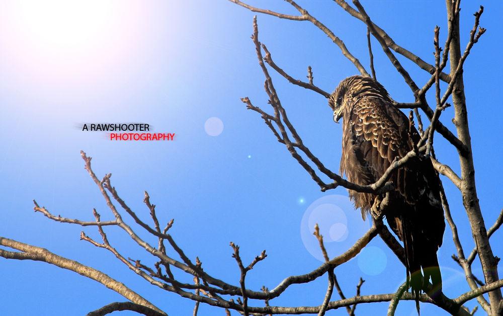 EAGLE by sumansengupta12