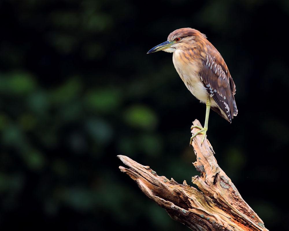 Lonely Heron by perakman