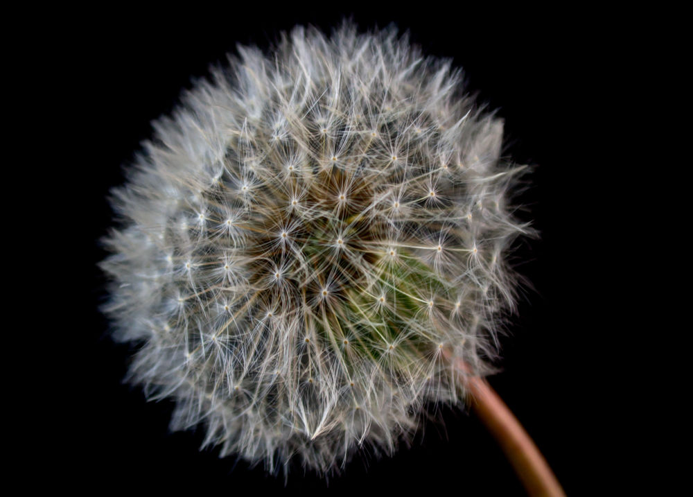 Dandelion by ThomasHack