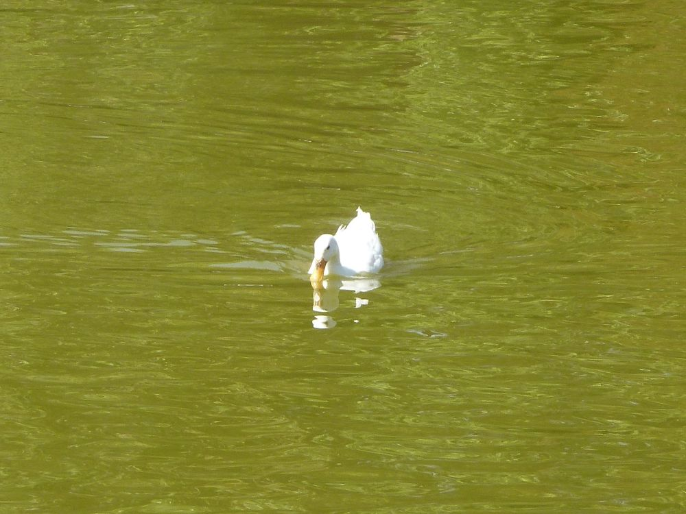 Photo in Random #cane #duck #pato #banche #blanco #white #agua #lac #lago #lake #purificacion