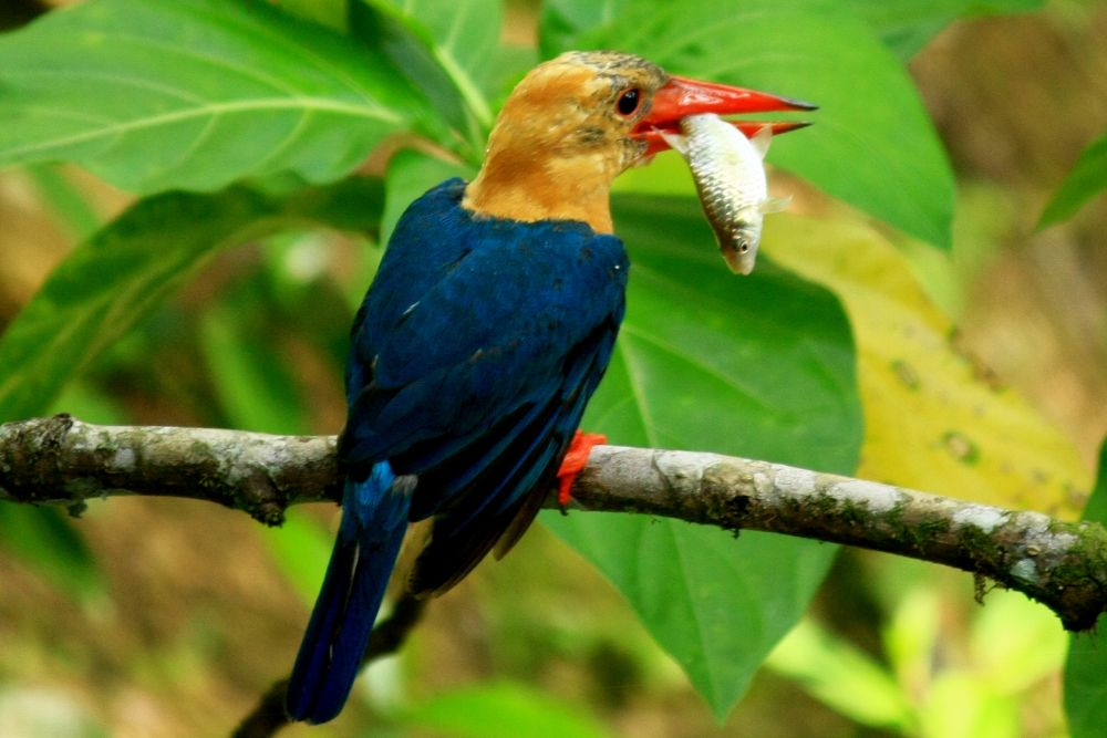stork billed kingfisher by KinG3338