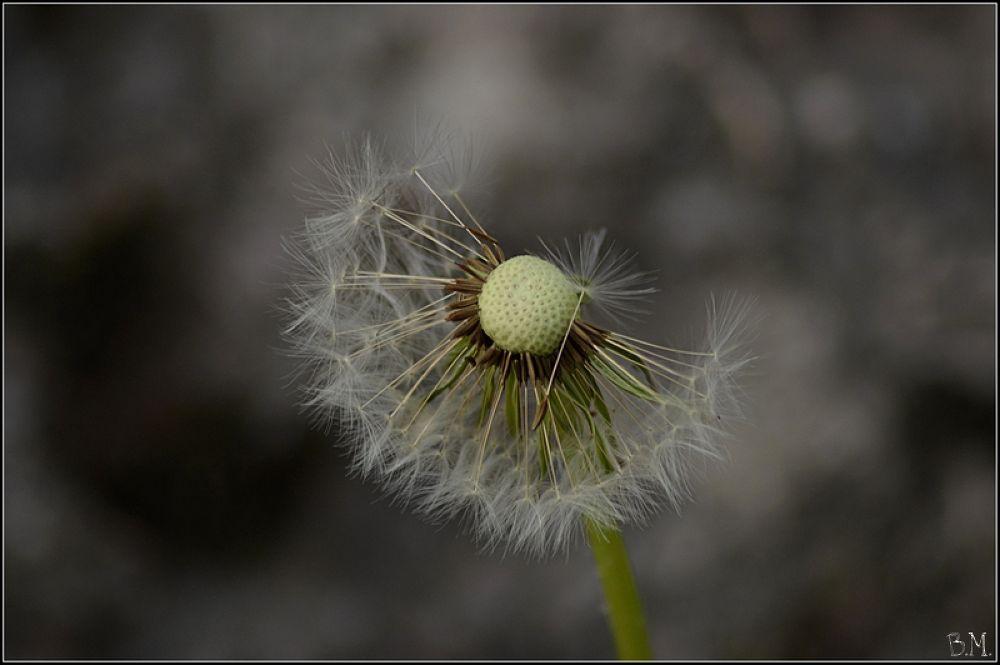 Dandelion by borutmocnik1