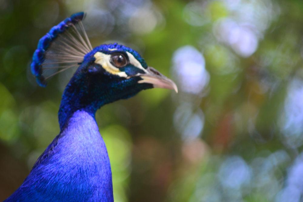 Peacock by Jodi Donkel