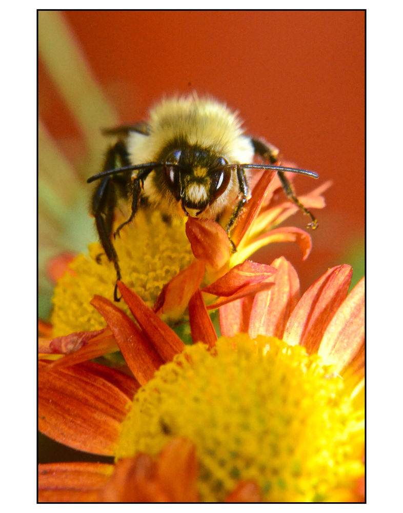 Photo in Macro #insect #bee #nature #bug #summer #yellow #flower