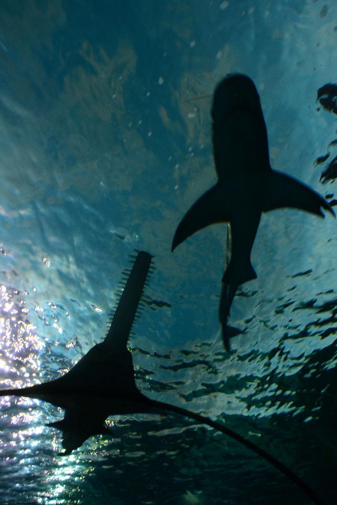 Photo in Animal #shark #fish #water #blue #jodi donkel