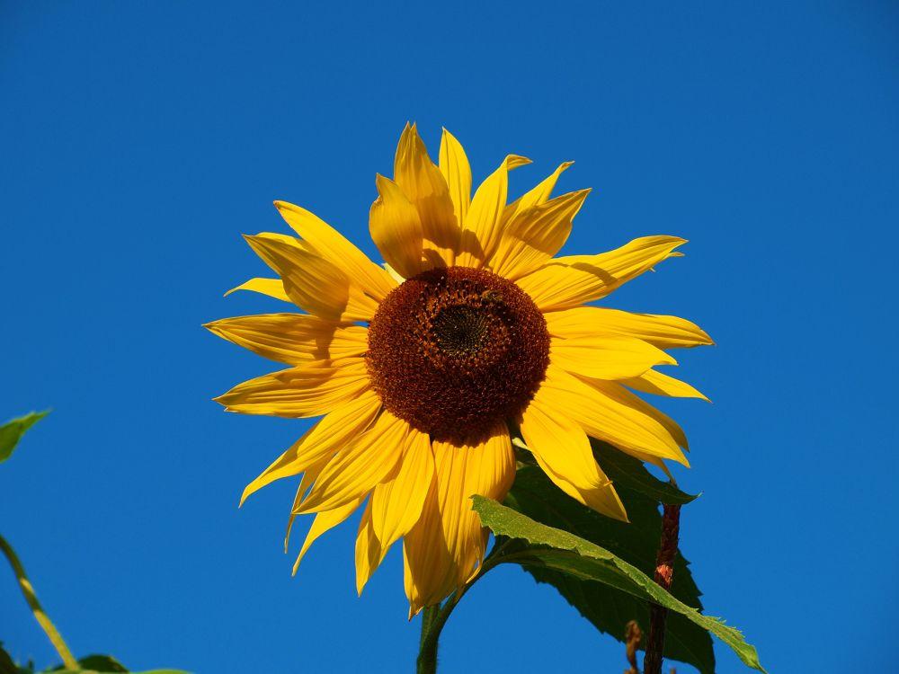 Sunflower by Susanne Schulze
