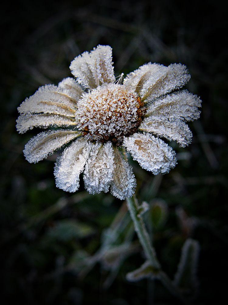 frozen daisy by MCAdel