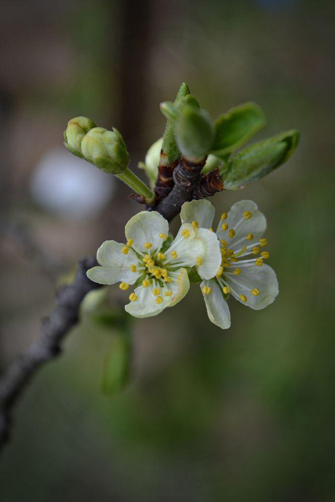 plum blossom by MCAdel