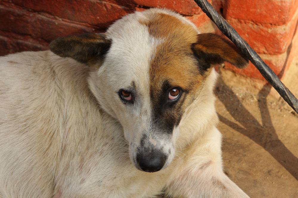 7916 Bhaktapur Dog.JPG by cococinema