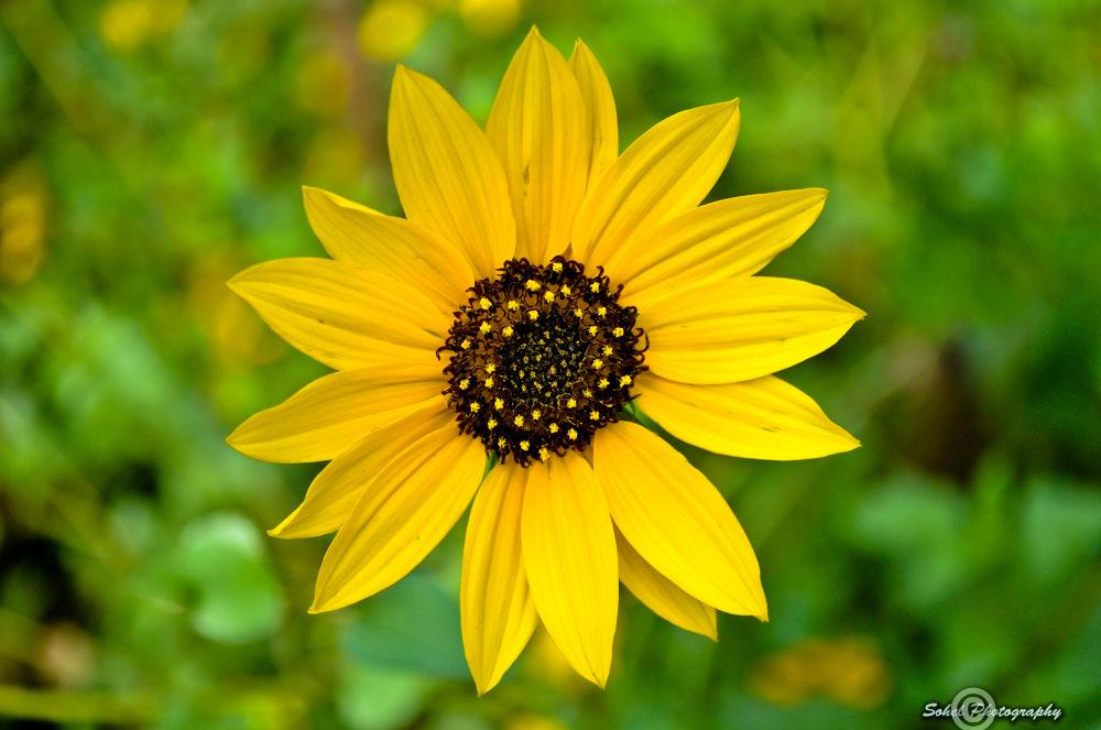 Sunflower by sohelmahmud33