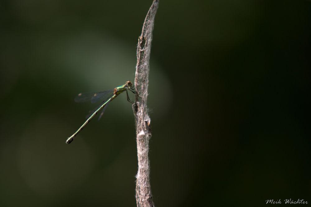 Libelle 6 by Meik Wächter