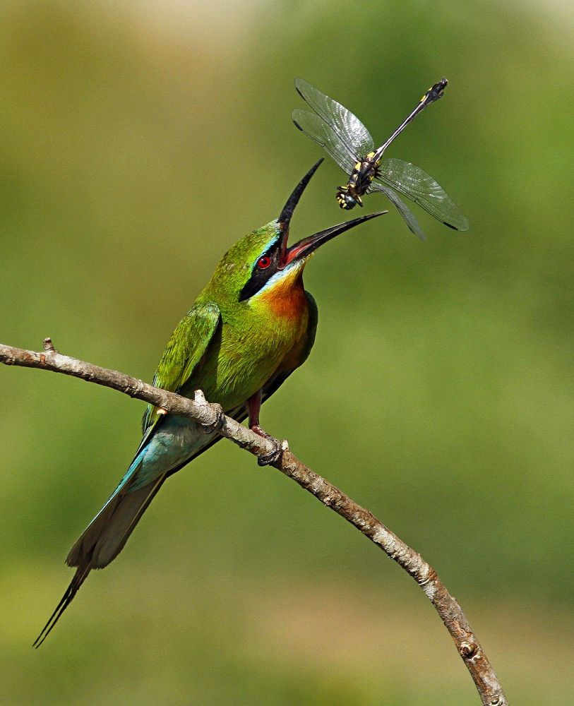 Photo in Animal #bee eater with catch