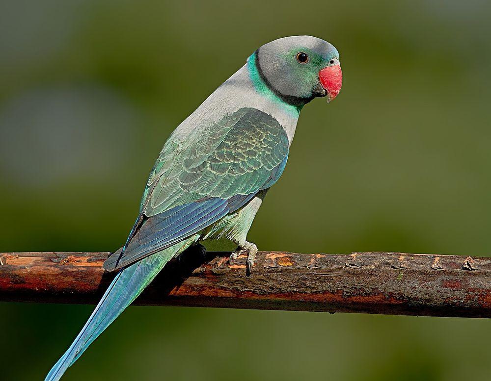 Malabar parakeet by devaraja568