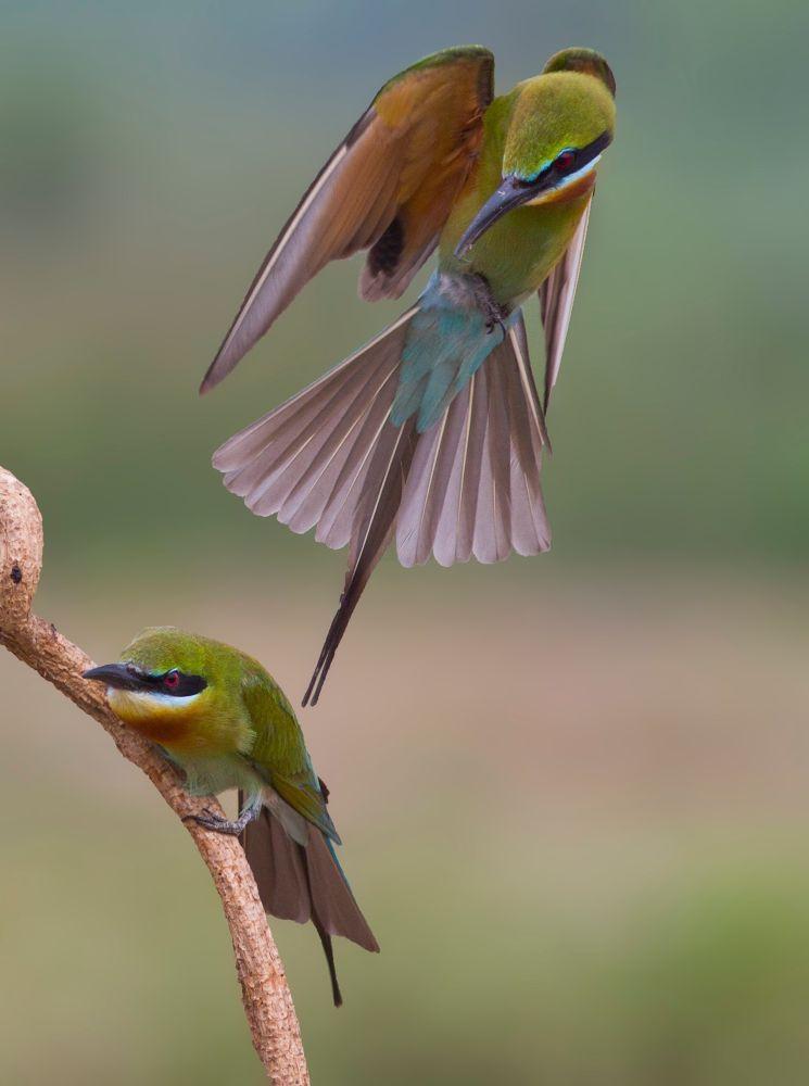 Blue tailed bee eater by devaraja568