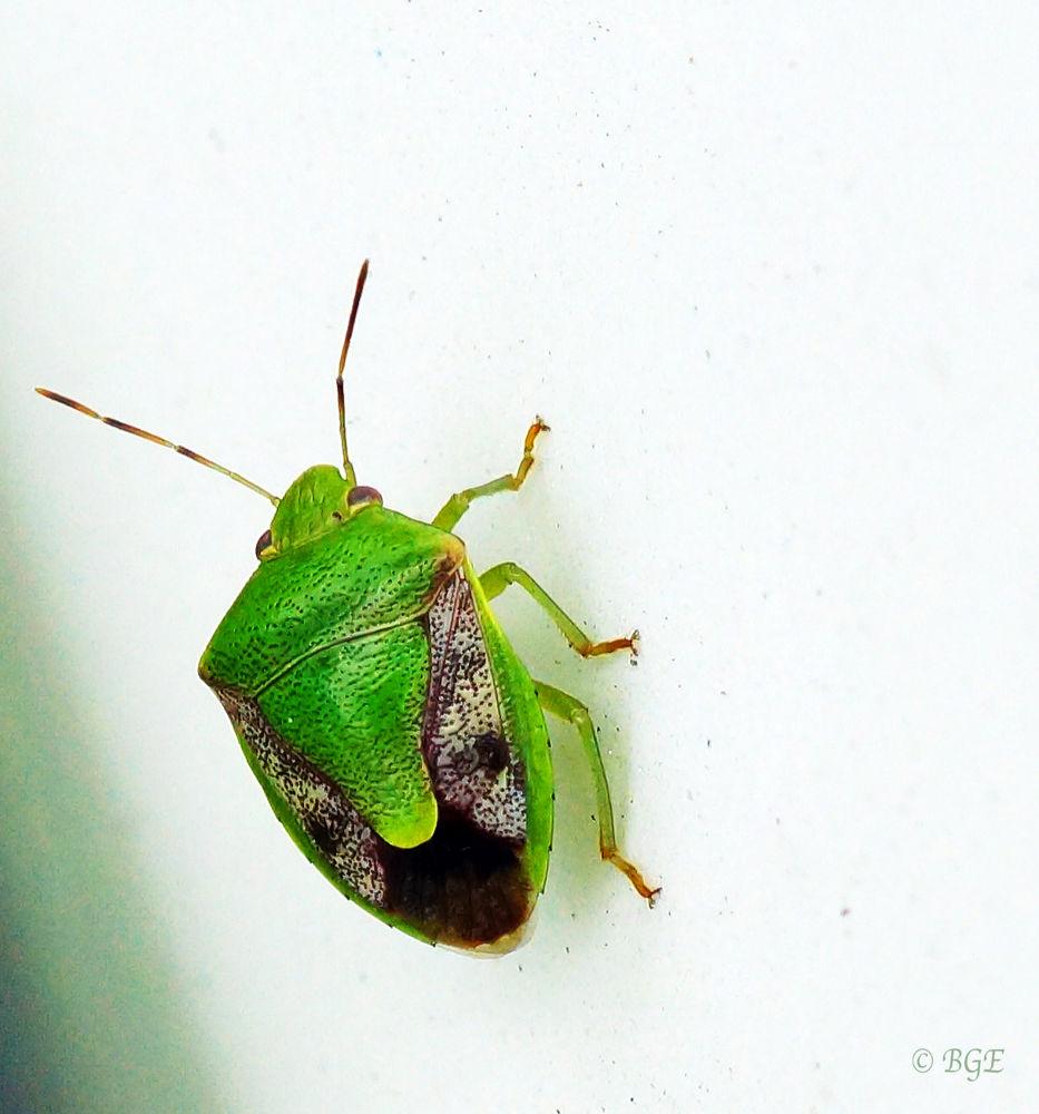Shield Bug by Brian
