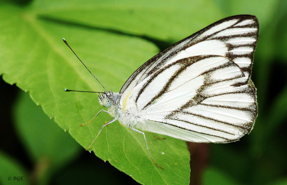 White Butterfly by Brian