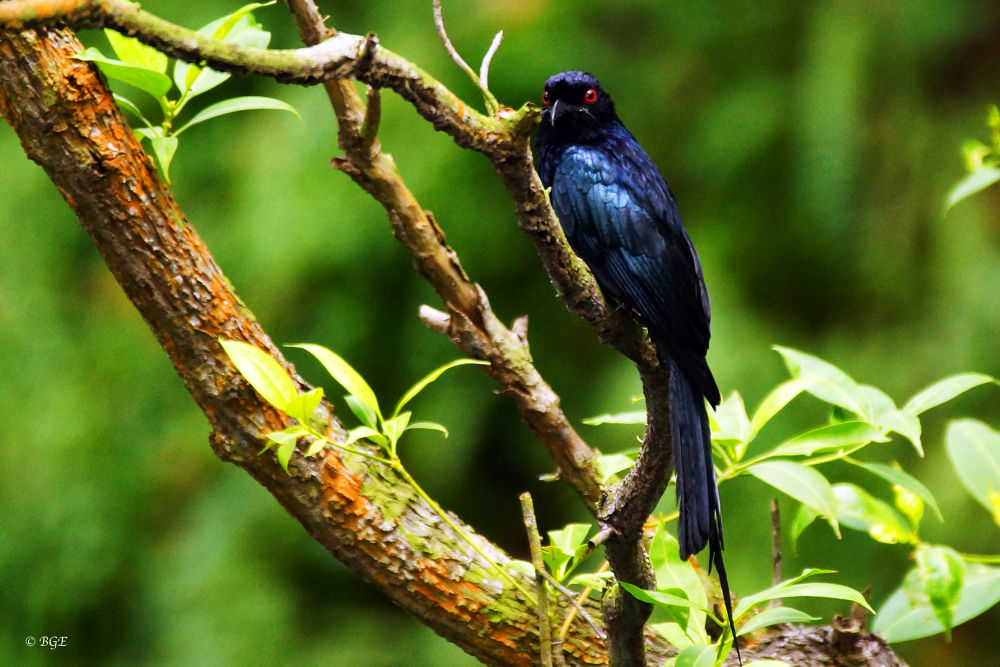 Crow Billed Drongo by Brian