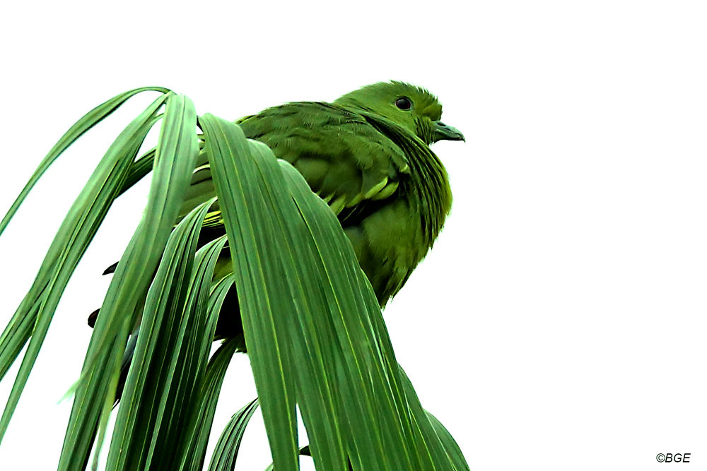 Green Pigeon by Brian