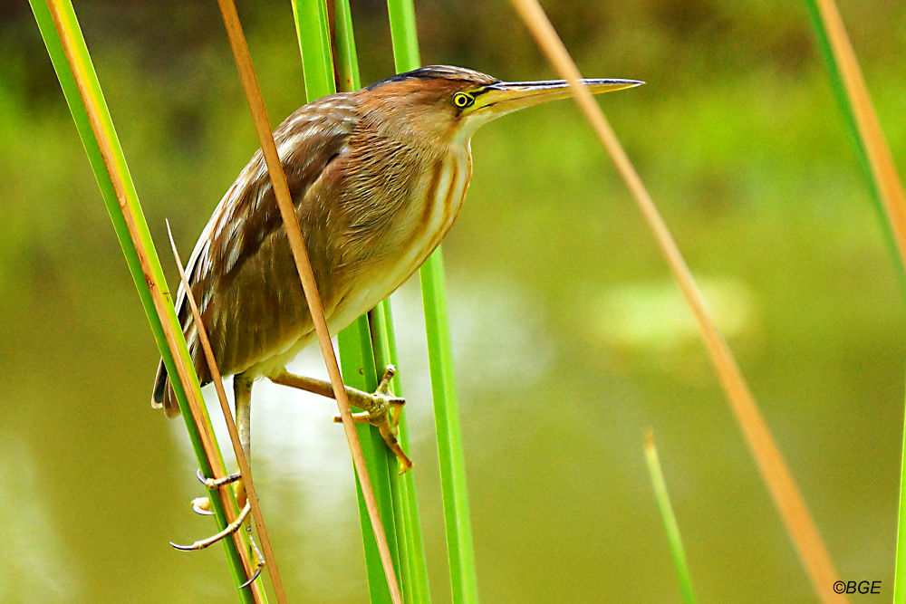 Pond Heron by Brian