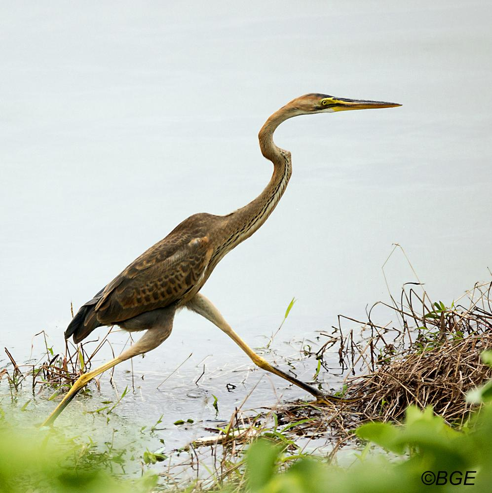 Juvenile Heron taking a Stroll by Brian