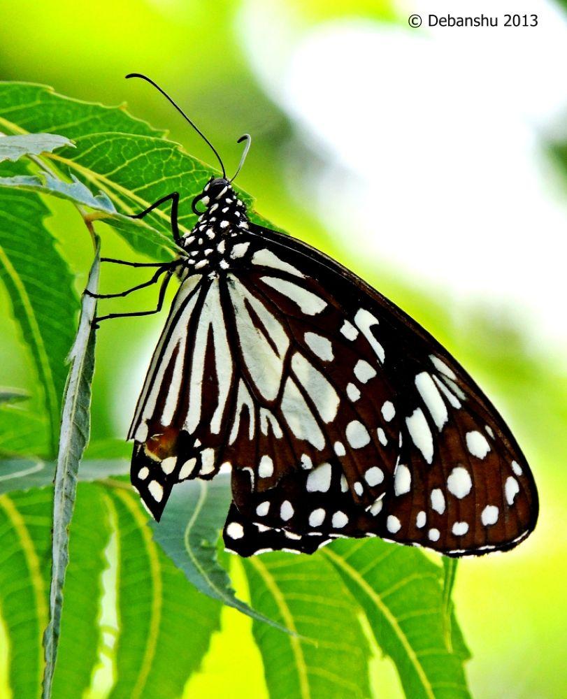 Butterfly by debanshumukherjee54