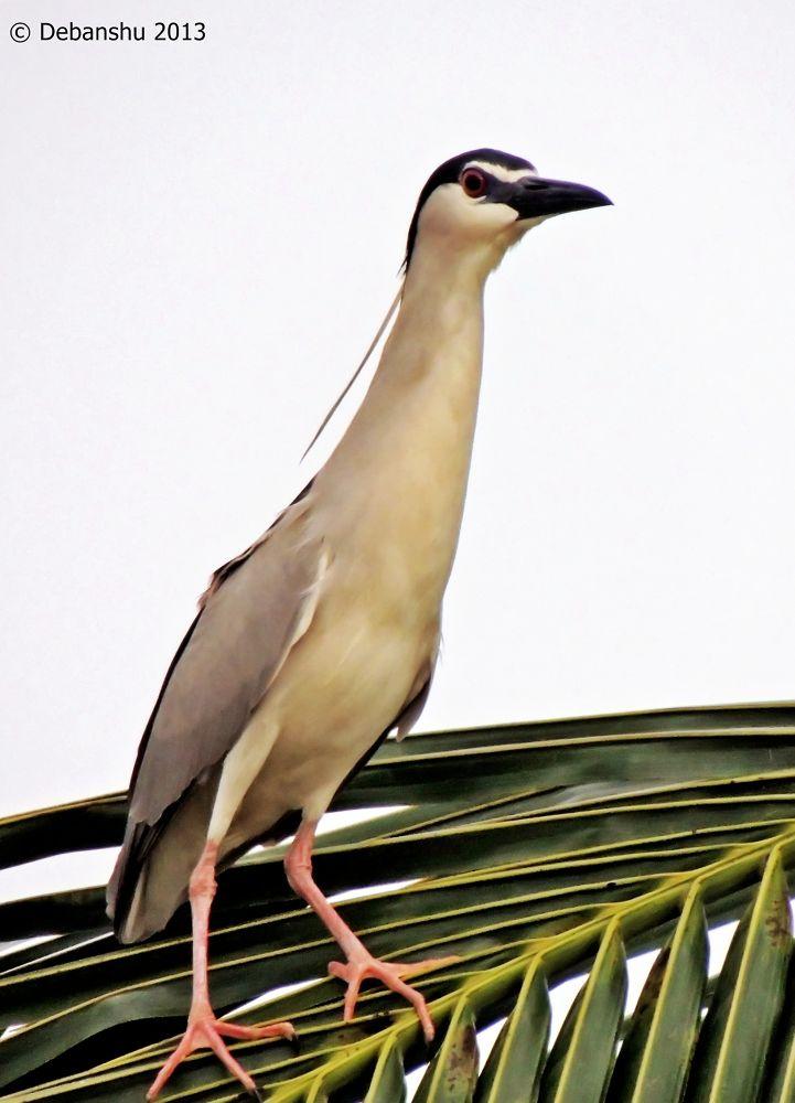 indian Night heron by debanshumukherjee54