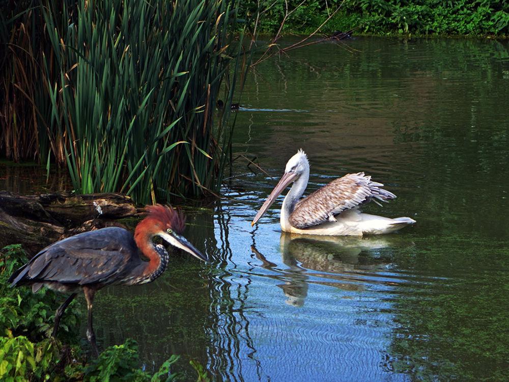 Heron and pelican by hugodejong35