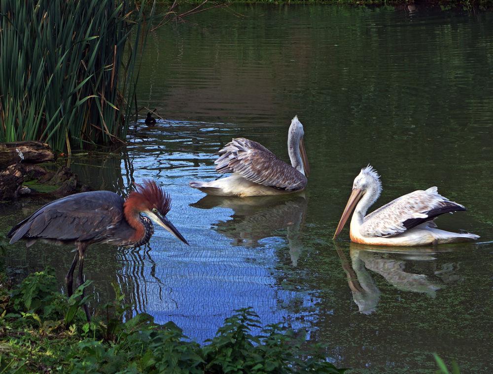 Heron and pelicans by hugodejong35