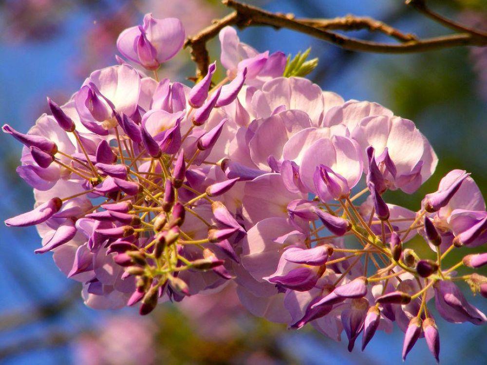 Wisteria Blooms by PRAZZI