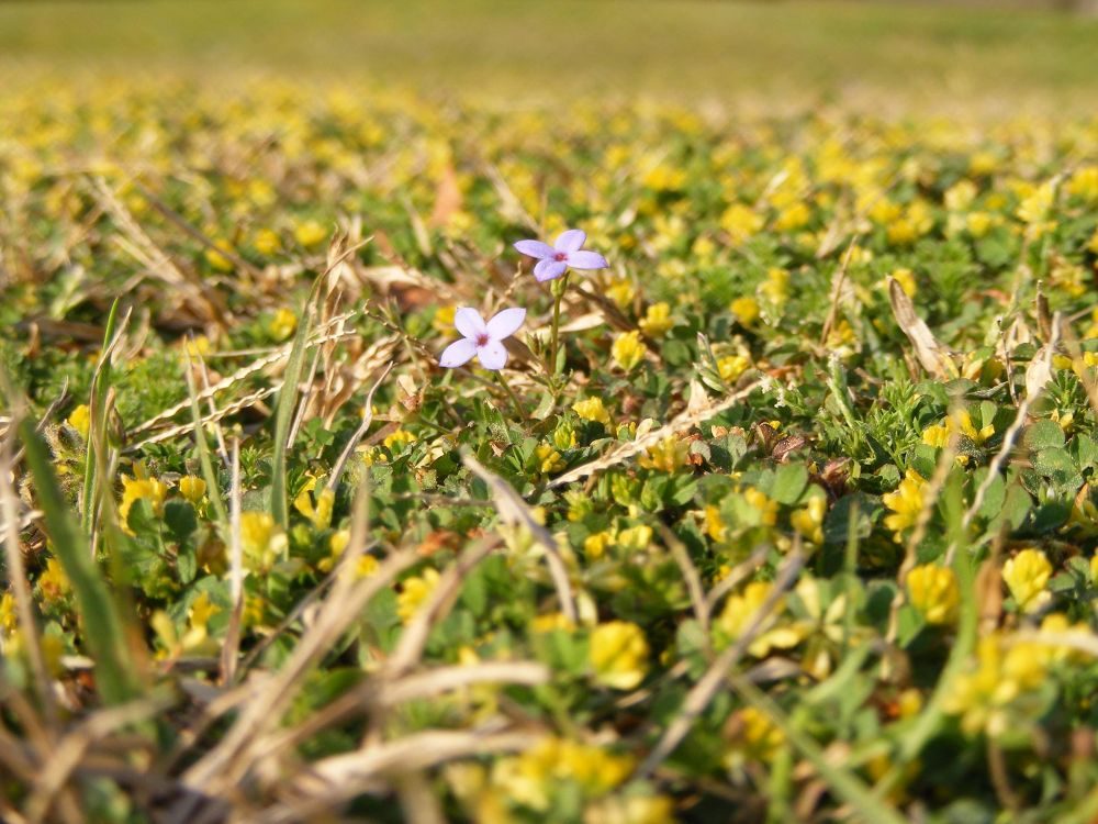 Photo in Nature #bluets #grass #yellow flowers #nature