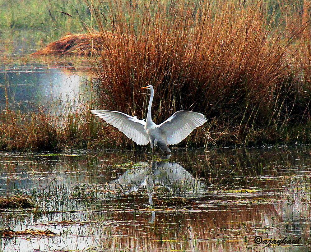 Great Egret 1.jpg by ajaykaul