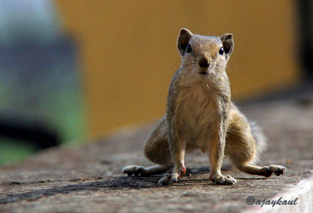 squirrel.jpg by ajaykaul
