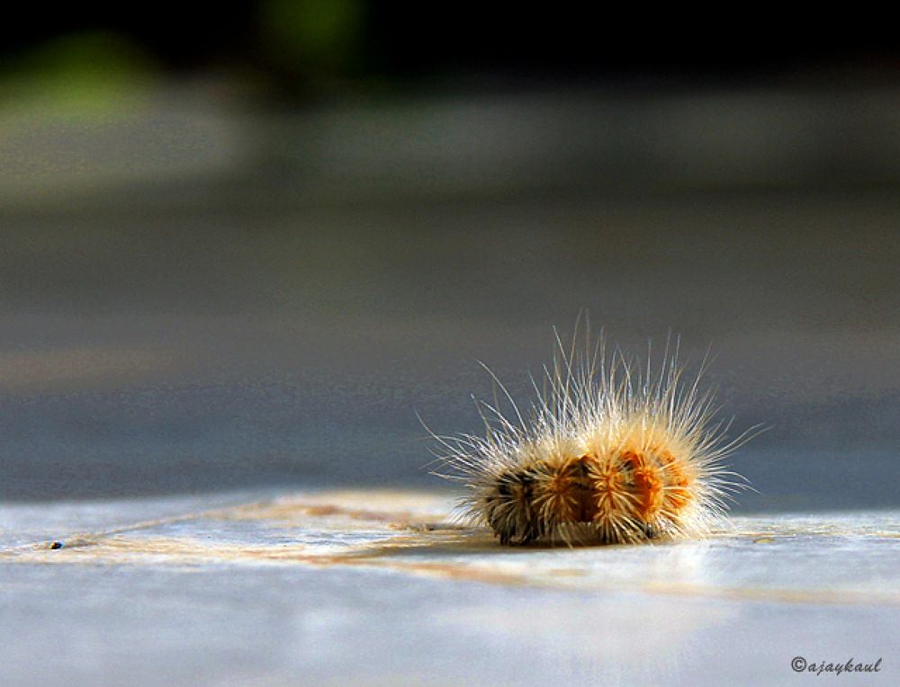 caterpillar by ajaykaul