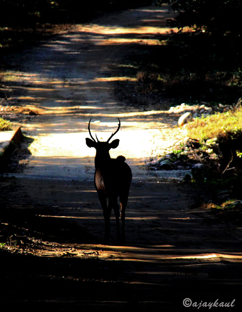 deer by ajaykaul