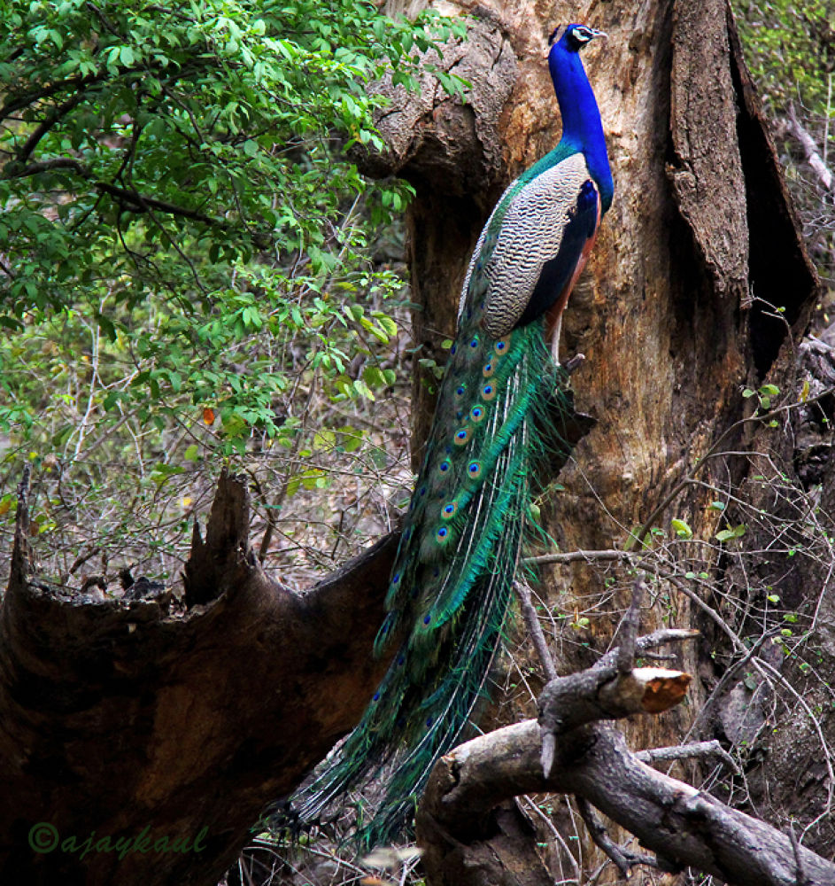 Indian peafowl by ajaykaul