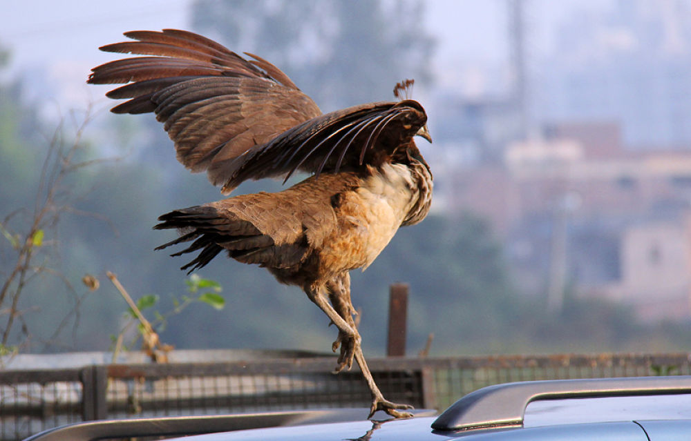 peafowl landing8 by ajaykaul