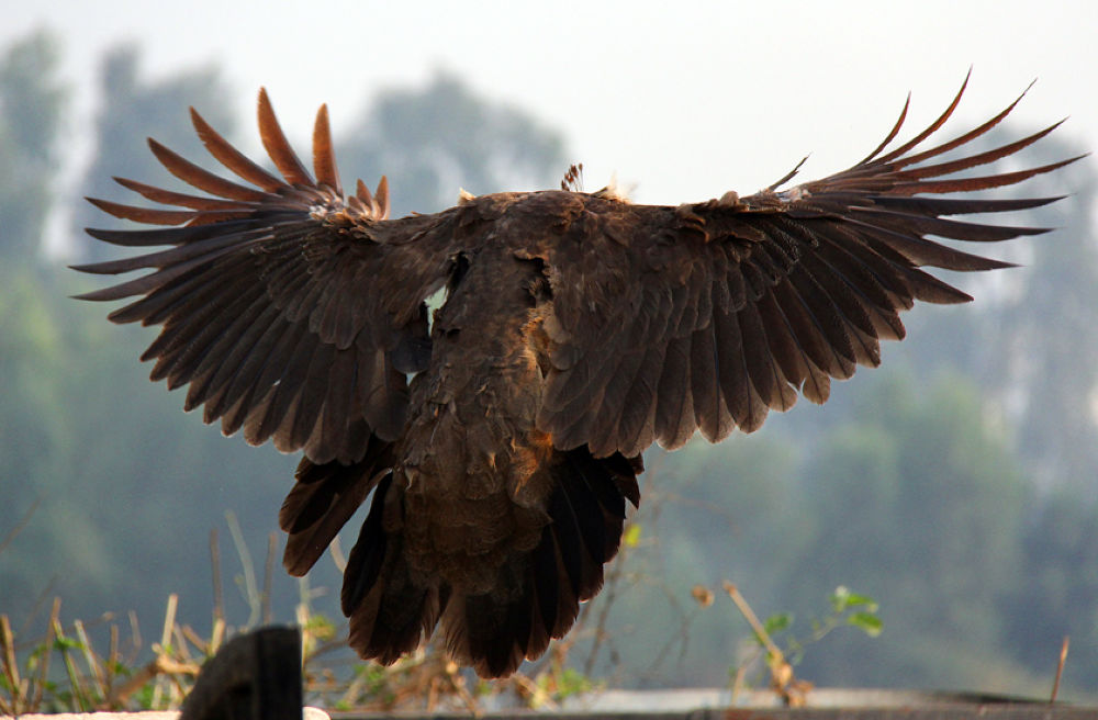 peafowl landing4 by ajaykaul