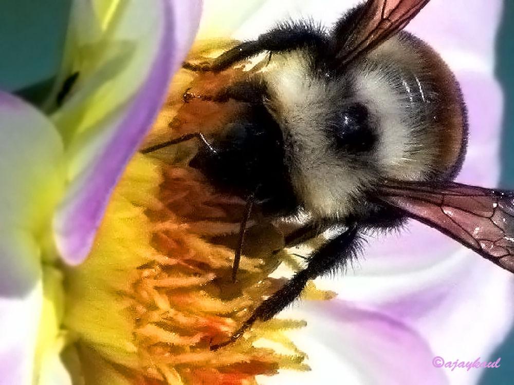 honeybee by ajaykaul
