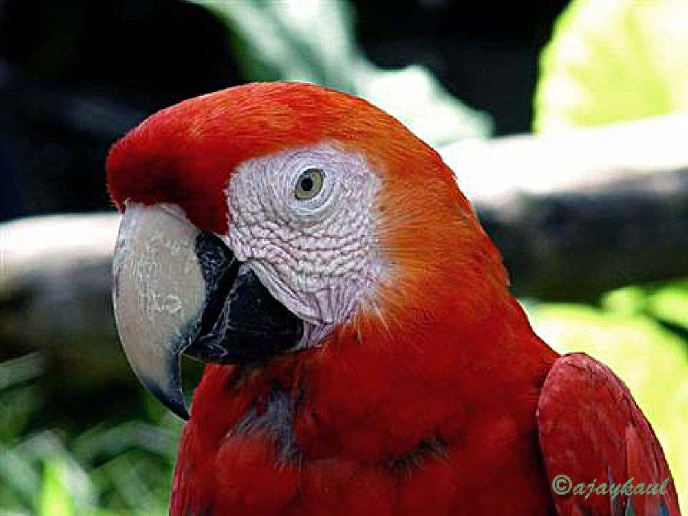 macaw by ajaykaul